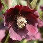 Hellebore  (Helleborus x ericsmithii)