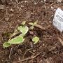 Brunnera_hadspen_cream_just_planted