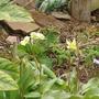 "Erythronium and primrose (Erythronium japonicum ""Pagoda"")"