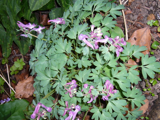 Corydalis solida (Corydalis solida (Fumewort))
