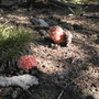 Mushrooms (Amanita muscaria (Fly Agaric))