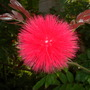 Calliandra haematocephala - Powder Puff Flower (Calliandra haematocephala - Powder Puff)