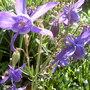 Pretty mid blue Alpine Aquilegia