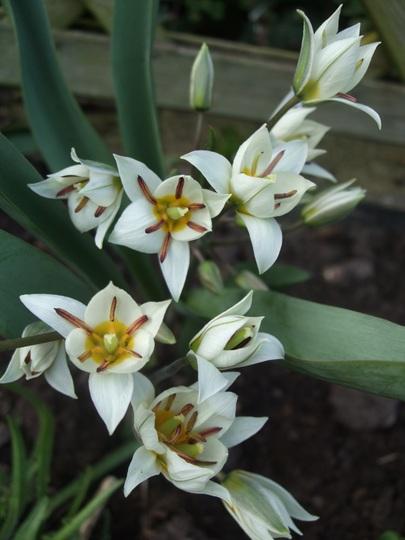 Tulipa turkestanica (Tulipa turkestanica (Tulip))