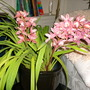 My Cymbidium Orchid Blooming (Cymbidium Orchid)