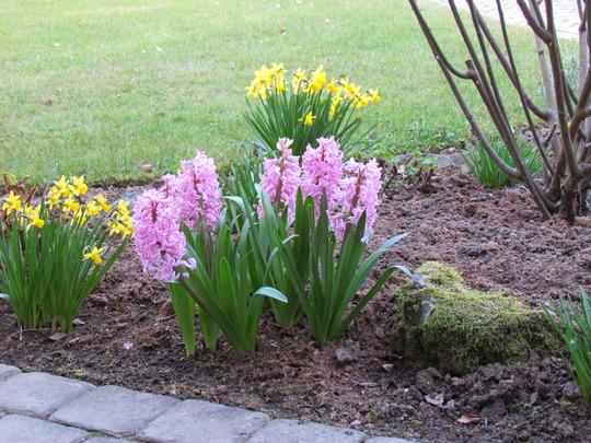Mini Daffs and Hyacinths under the rose bush