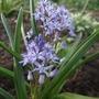 Hyacinthoides_reverchonii