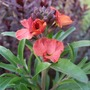 Erysimum_winter_sorbet_