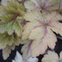 x Heucherella 'Golden Zebra' (x Heucherella)