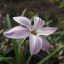 Ipheion 'Charlotte Bishop' (Ipheion uniflorum (Ipheion))