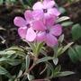 Phlox_amoena_variegata_