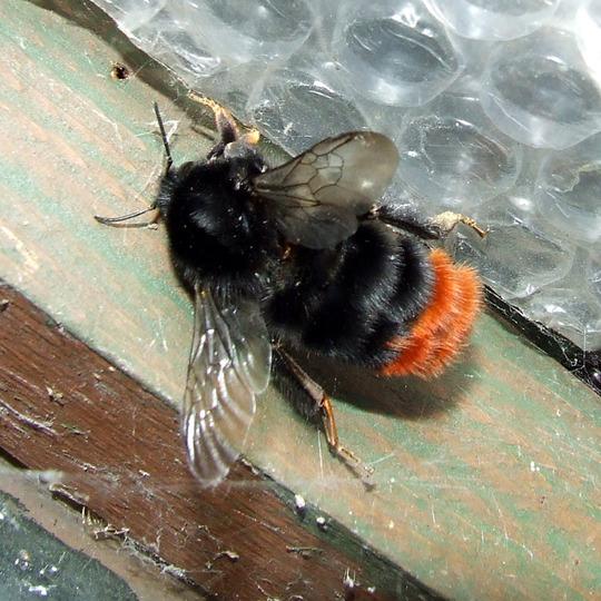 Red-rumped Bumblebee