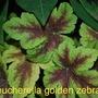 Heucherella for Spritz..... (Heucherella Golden Zebra)
