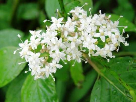 A garden flower photo (cornus)