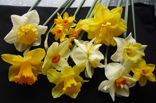 """Never say  """"It's just a Daffodil !"""""""