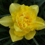 Narcissus_double_campernelle