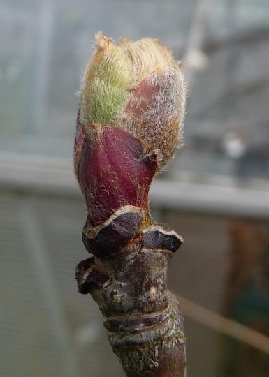 Sorbus 'Autumn Spire' (Sorbus aucuparia (Mountain ash))