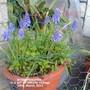 Grape Hyacinths in a pot on balcony railings 28-03-2011 (Muscari neglectum)