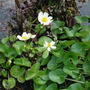 Caltha palustris 'Alba' (Caltha palustris (Kingcup))