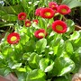 Red bellis in a pot (Bellis perennis (Common Daisy))