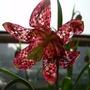 "Fritillaria meleagris ""Snake's Head Fritillary"" (Fritillaria meleagris (Snake's head fritillary))"