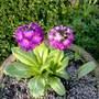 Primula Denticulata   Drumstick Primrose