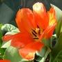 Tulip Fosteriana Orange Emperor (tulip)