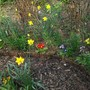 Spring bulbs with wallflowers to come