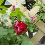 Rosebuds - 4th of July