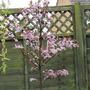 prunus cerasifera.(ornamental plum) (prunus cerasifera nigra)