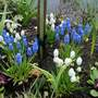 Muscari at its Best!
