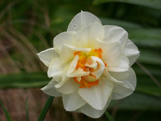 Double Daffodil (Narcissus)