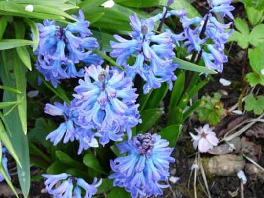 Hyacinths from last year (Hyacinth orientalis)