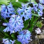 Hyacinths from last year (Hyacinth orientalis)