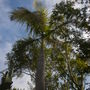 Roystonea oleracea - Caribbean Royal Palm (Roystonea oleracea - Caribbean Royal Palm)