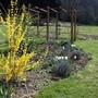 "Forsythia ""Lynwood Gold"" (Forsythia intermedia (Forsythia))"