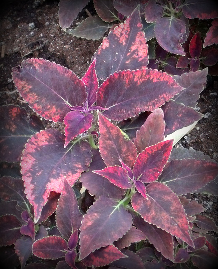 """Coleus (Solenostemon) """"Red Angel"""" (Solenostemon scutellarioides (Coleus))"""