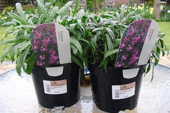 Erysimum 'Bowles's Mauve'  Evergreen perennial (Erysimum bicolor (Bowles' perennial wallflower))