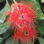 Bottlebrush (Callistemon) (Callistemon)