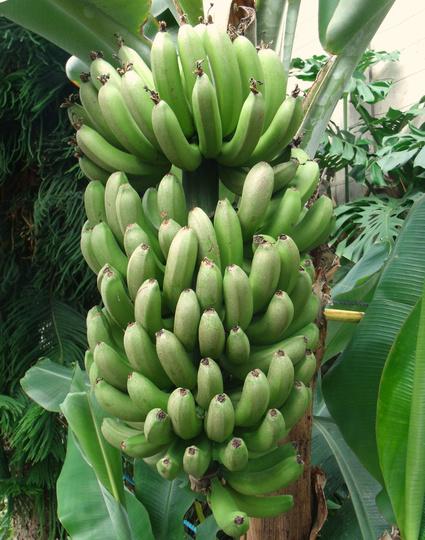 Bananas (Musa basjoo (Japanese banana))