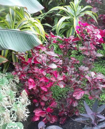 "Iresine herbstii ""Brilliantissima"" (Iresine herbstii (Beefsteak Plant))"