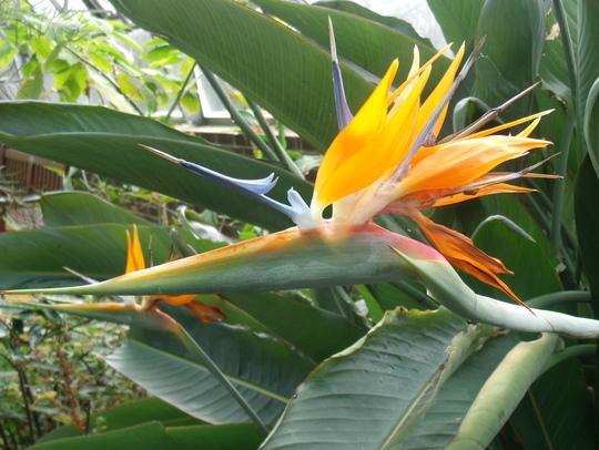 Strelitzia reginae (Strelitzia reginae (Bird of paradise))