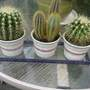 Cactus for Hywel