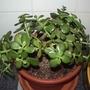 Jade plant (Crassula ovata)