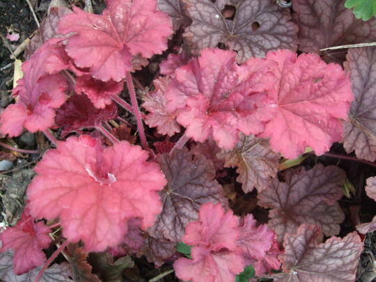 Heuchera 'Berry Smoothie' (Heuchera)