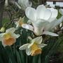 Magnolia_narcissi
