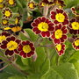 Primula Glorious Laced Gold