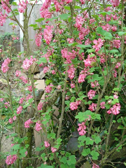 Flowering Currant...find the bee!!!