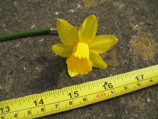 """16"""" tall dwarf narcissus (Narcissus Tete a Tete)"""