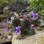 Viola Laboradorica purpurea (Viola labradorica)